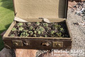 Hauswurz, Sempervivum, Sedum im Koffer